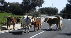"""Calabria. Vacche """"sacre"""" dei boss, prefetto ordina: """"Abbattetele"""""""