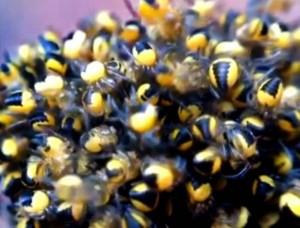 """Regno Unito invaso dai """"ragni gialli"""": ecco cosa accade se li tocchi"""
