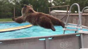 VIDEO YouTube - Bruiser, l'orso che fa il bagno in piscina e ama i tuffi
