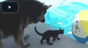 Il pastore tedesco fa da baby sitter al gattino curioso VIDEO