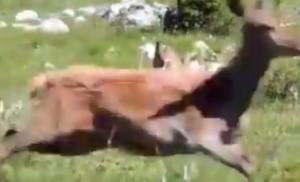 mamma cervo allontana lupo per difendere il suo piccolo