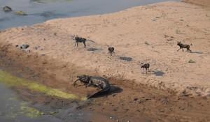 licaoni catturano impala. Coccodrillo ruba loro la preda