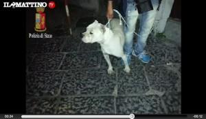 Combattimenti tra cani a Caserta, i video su Facebook per attrarre scommesse