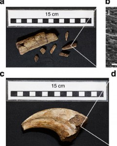Sangue di dinosauro vecchio 75 milioni di anni: estratto da fossili