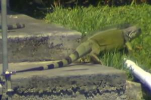 VIDEO YouTube - Florida, dalla tazza del WC otturata esce iguana viva