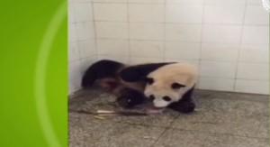Il parto di mamma panda: come nascono due gemellini