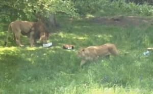 """Zoo Edimburgo: leoni si innamorano. Si sono """"conosciuti"""" grazie a sito online VIDEO"""