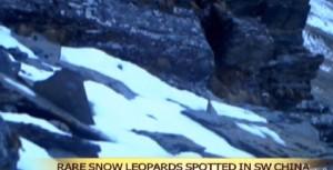 Cina: 3 leopardi delle nevi filmati a 4mila metri di quota