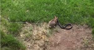 VIDEO YouTube. Mamma coniglio combatte col serpente e salva i cuccioli