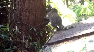 VIDEO YouTube. Mamma procione insegna al cucciolo come salire su un albero