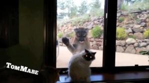 Video YouTube: il puma vuole entrare in casa, il gatto lo caccia