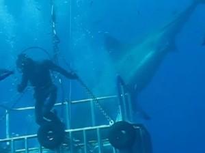 sub esce dalla gabbia di protezione per toccare enorme squalo bianco