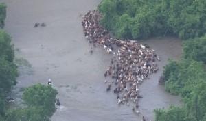 alluvione Texas, mandrie fuggono nel fiume