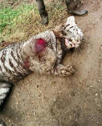 Tbilisi, tigre fugge dallo zoo allagato e uccide un uomo. Presa e ammazzata FOTO