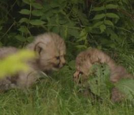 Sette cuccioli di ghepardo nati allo zoo di Münster