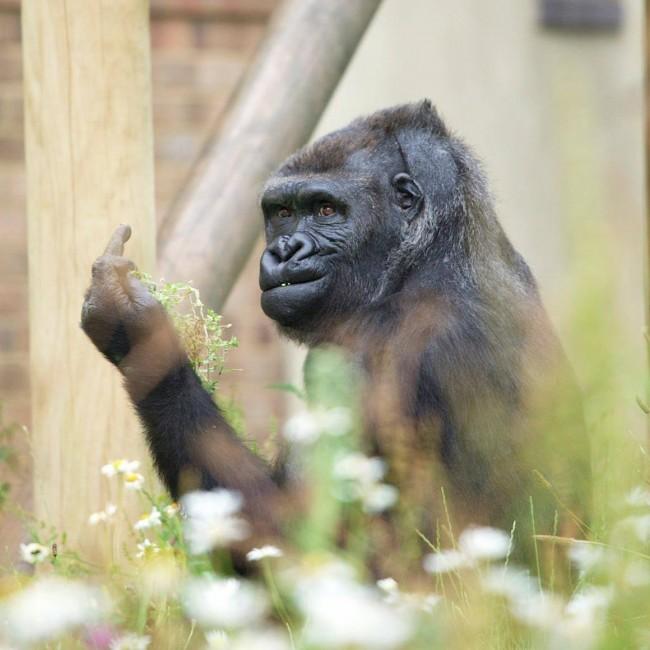 Zoo di Bristol: Gorilla infastidito dai flash mostra il dito medio