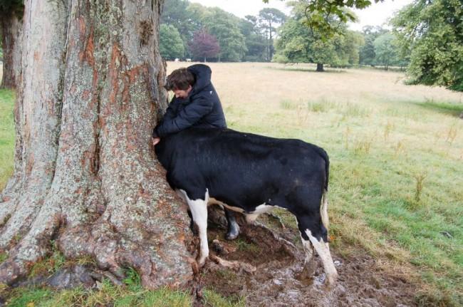 Gb, mucca con la testa incastrata nell'albero: due ore per liberarla