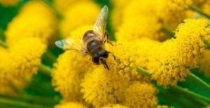 Anche le api vaccinano i figli. E quel vaccino potrebbe salvarle