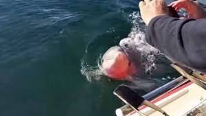 delfino salta verso barca e tenta di mangiare lo smartphone
