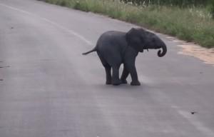 baby elefante si diverte ad inseguire le rondini