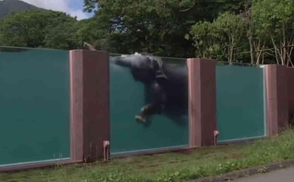 Video youtube giappone gli elefanti nuotano in piscina for Porno la piscina
