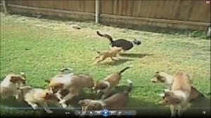 VIDEO: gatti contro cani, la clip che vi mette di buonumore