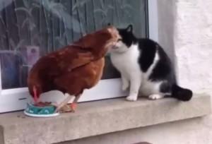 gallina coraggiosa allontana gatto e gli ruba il cibo
