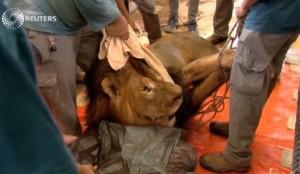 VIDEO - Operato leone in Israele: asportato tumore grosso come palla da tennis