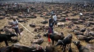 Nepal dice addio al sacrificio di animali al festival di Ghadimai