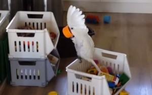VIDEO YouTube: pappagallo urla nella tazza, l'eco sembra divertirlo