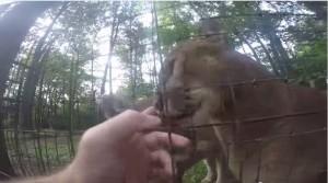 VIDEO YouTube. Entra nel recinto del puma allo zoo e...coccole e fusa