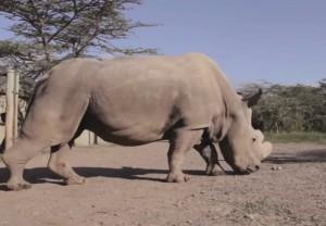 ultimo rinoceronte bianco al mondo è scortato 24 ore al giorno