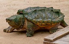 Macrochelys temminckii, comunemente nota come tartaruga alligatore (foto Wikipedia)