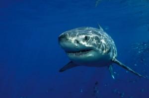 Australia: squalo assale e uccide subacqueo