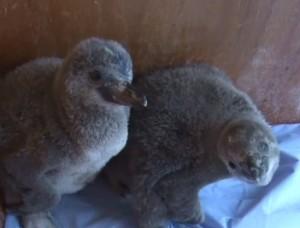Cuccioli di pinguino allo zoo di Londra vengono imboccati