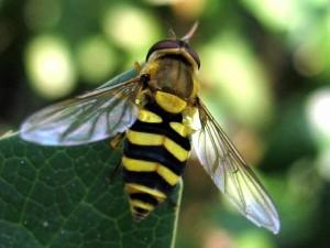 Forni di Sopra (Udine), muore punto da vespa. Allergico, non aveva l'antidoto