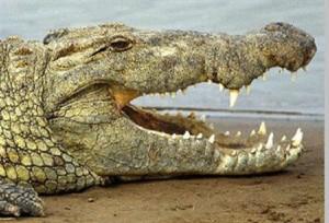 Coccodrillo attacca donna, lei si salva colpendolo con un mestolo