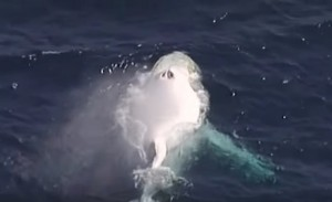 rara balena bianca avvistata a Gold Coast in Australia
