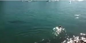 Louie, il cane che nuota con i delfini