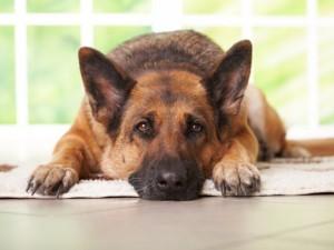 Padova, allarme leptospirosi: troppi cani infetti