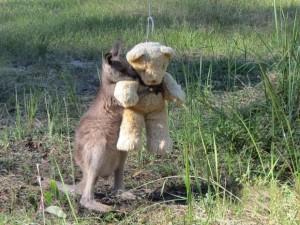 VIDEO YouTube: baby canguro orfano abbraccia il suo orsacchiotto