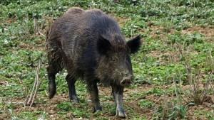 Cinghiali, la Liguria vuole anticipare la caccia