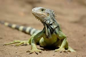 Un' iguana
