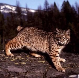 California, bandita la caccia alla lince dopo le proteste degli animalisti
