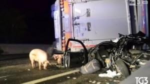 A1, maiali in autostrada dopo l'incidente
