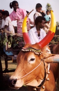 Mucca, sei sacra o sei bistecca? In India la carne è politica