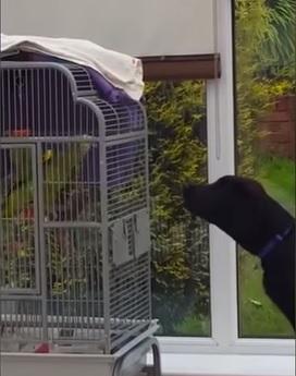 """VIDEO YouTube: pappagallo """"abbaia"""" al Labrador, la lite fa ridere"""