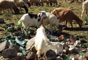 Santa Maria la Fossa (Caserta): le pecore pascolano accanto alla discarica