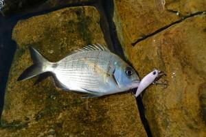 Mistero: il sarago sa di cartone: mare sporco, mutazione?