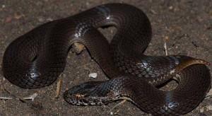 Il serpente Denisonia Maculata